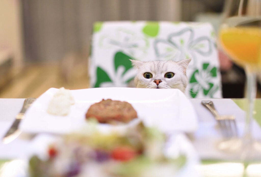 A Scottish Fold smell food on table.