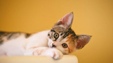 Cute cat in front of a mustard yellow wall