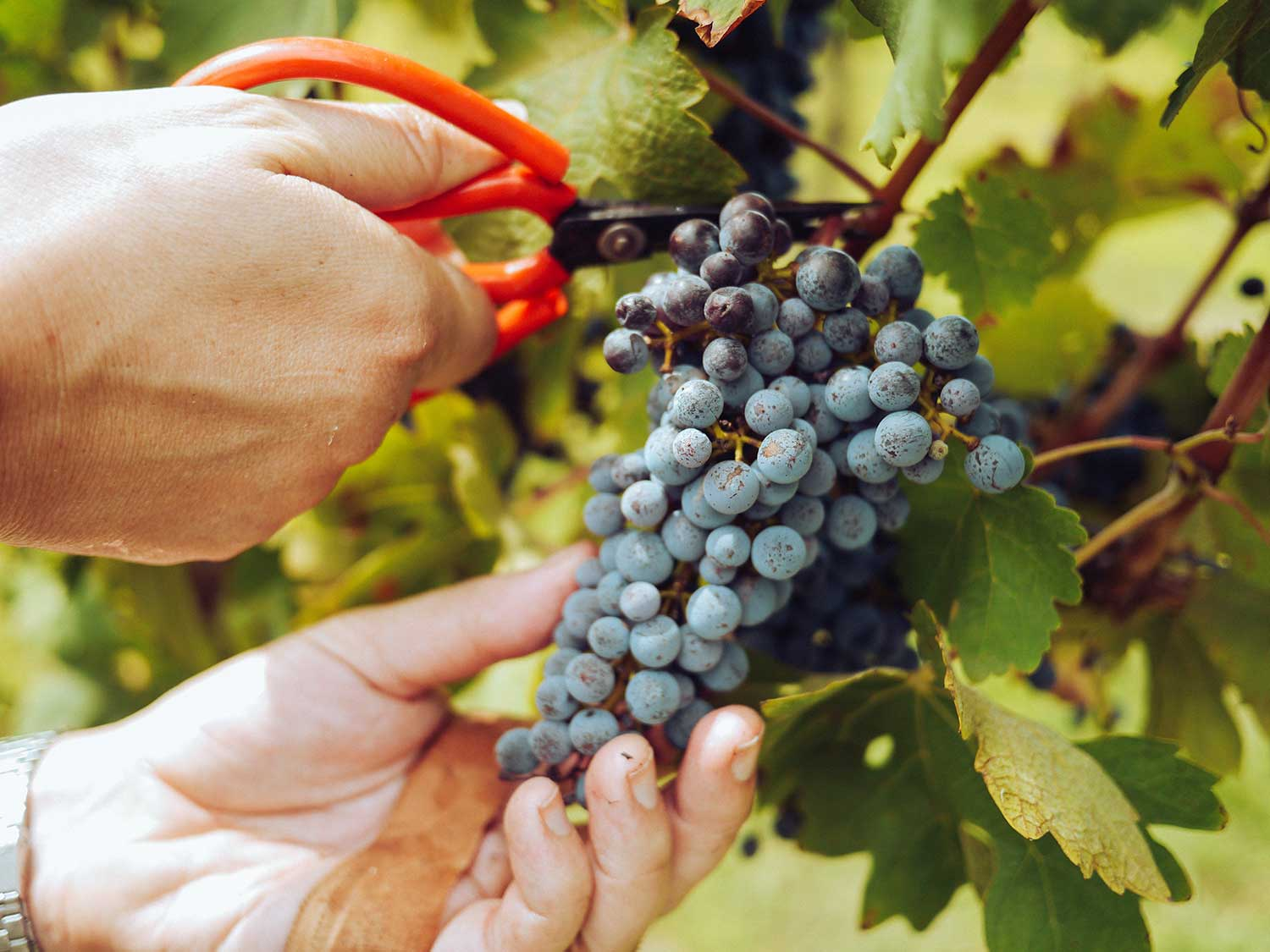 Cutting grapes for wine.